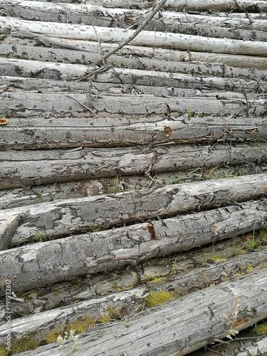 Tuinposter Berkbosje Cut logs in forest close up