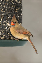 Female Northern Cardinal On Seed Feeder.