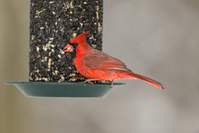 Male Northern Cardinal On Seed...