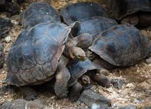 Galapagos Turtle Mates