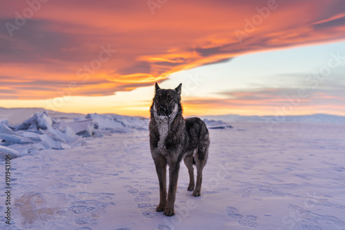 Wolf standing alone on snow in sunset at frozen lake Baikal in Russia Canvas Print