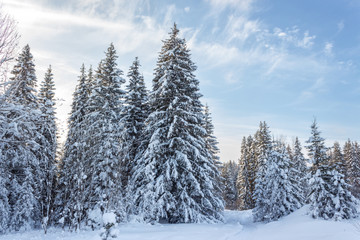 Winter forest in Sunny day