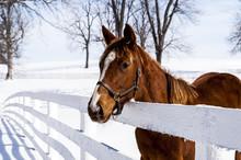 Thoroughbred Horse - Mancheste...