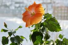 Bright Orange Hibiscus Blossom...