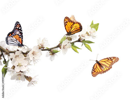Fototapeta  Flowers of cherry and monarch butterflies