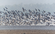 Brown Headed Gull - Chroicocep...