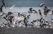 Brown Headed Gull - Chroicocephalus Brunnicephalus