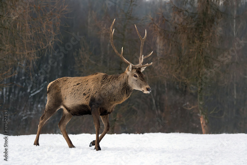 Poster Cerf Red deer in winter forest