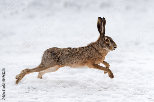 Hare running in the field