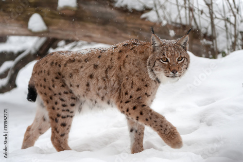 Lynx on the snow Fototapeta
