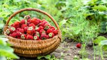 Fresh Farm Strawberries In Fie...