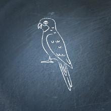 Rosella Parrot Icon Sketch On Chalkboard