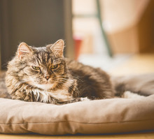 Old Cray Fluffy Cat Lies On Litter On Floor And Looking At Camera, Cozy Home Scene