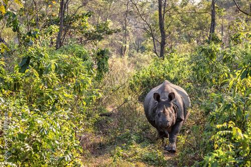Staande foto Nepal Indian Rhinoceros, Rhinoceros unicornis, Chitwan NP, Nepal