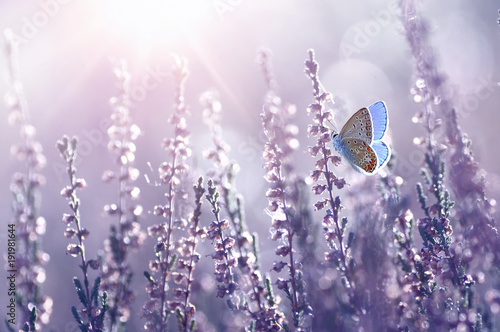 Foto op Aluminium Vlinder Surprisingly beautiful colorful floral background. Heather flowers and butterfly in rays of summer sunlight in spring outdoors on nature macro, soft focus. Atmospheric photo, gentle artistic image.