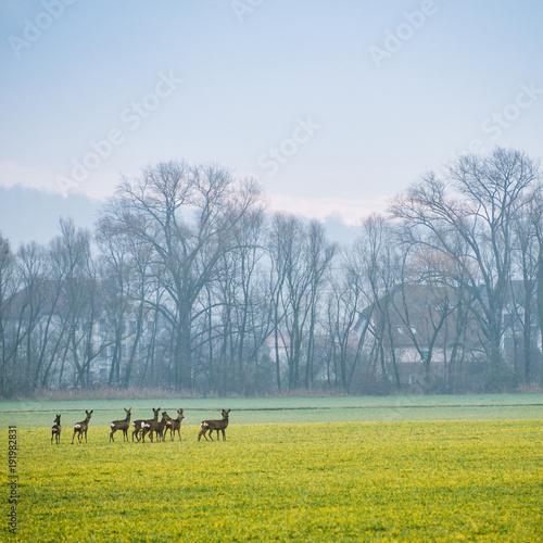 Fotobehang Ree Rudel Rehe mit Rehbock ratlos auf der Flucht über die Felder
