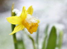 Close On A Daffodil In A Garden Covered With Snow