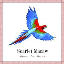 Scarlet Macaw Engraving Illust...