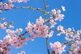 Pink spring cherry blossom, blue sky background