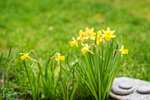 Daffodils close up in a garden, spring concept