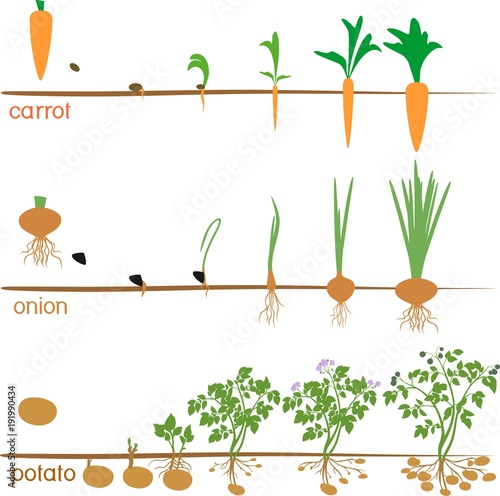 Foto  Three cycles of growth of agricultural plants