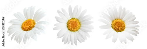 Photo Daisy flower isolated on white background as package design element
