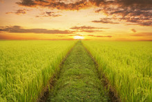 Rice Fields In The Evening, Wi...