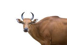 Banteng Female Isolated On White Background (wild Cow)