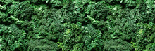 Fresh Organic Green Kale Backg...