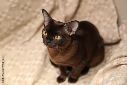 Fotografie, Tablou playfull burmese cat