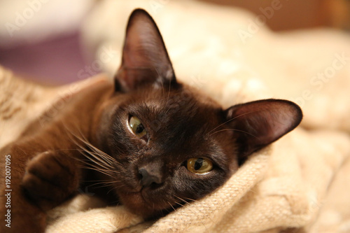 playfull burmese cat Tablou Canvas