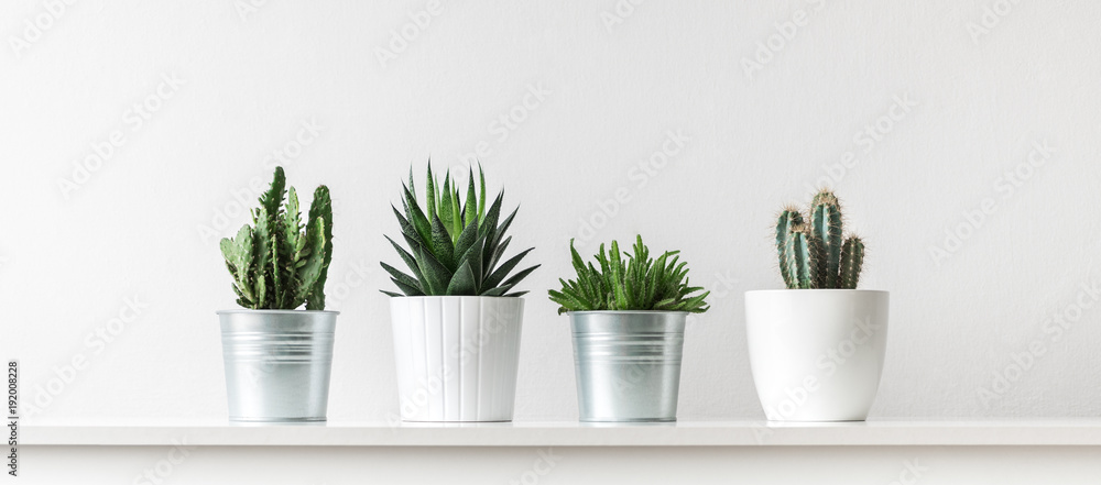 Fototapeta Collection of various cactus and succulent plants in different pots. Potted cactus house plants on white shelf against white wall.