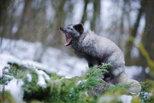 The Grey Polar Fox Sitting and Yawning. Canvas Print