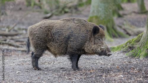 Wild Boar Fototapete