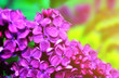 Lilac flowers in sunny garden, spring floral background