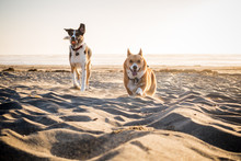 Two Dogs Running On A Beach At...