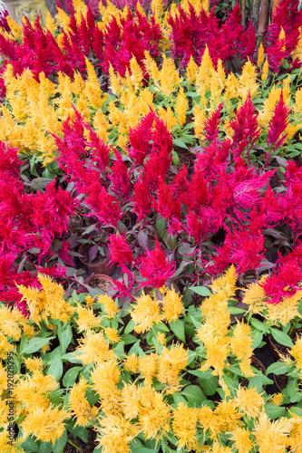 Fotografie, Obraz  Cockscomb, Chinese Wool Flower. Beautiful flower in the park.