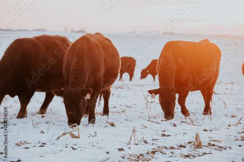 Black Cattle Eating in Field on Farm Poster