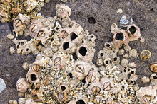 Barnacles And Shells Encrusted...