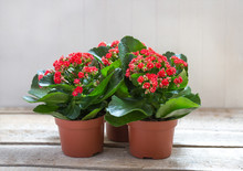 Red Kalanchoe Flowers On A Woo...