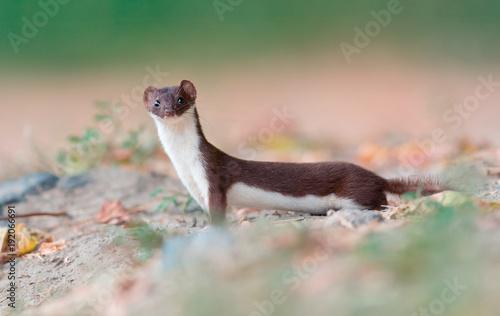 Foto  Least weasel (Mustela nivalis)