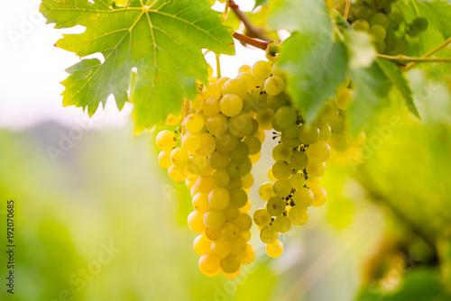 Foto  süße saftig reife Weintrauben im Herbst