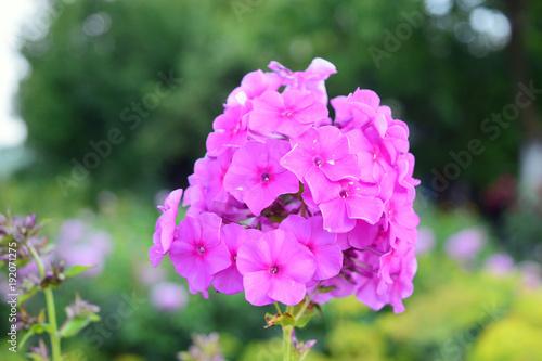 Piękne różowe kwiaty: floksa, Płomyk wiechowaty, Laura Canvas Print