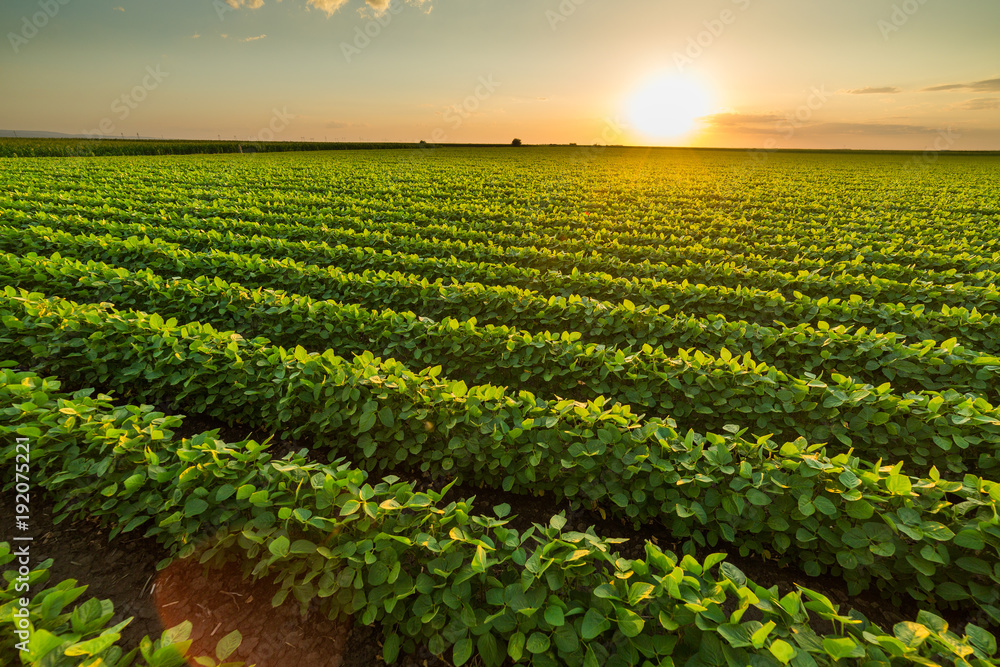 Fototapety, obrazy: Green ripening soybean field, agricultural landscape