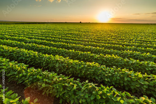 Fotobehang Cultuur Green ripening soybean field, agricultural landscape