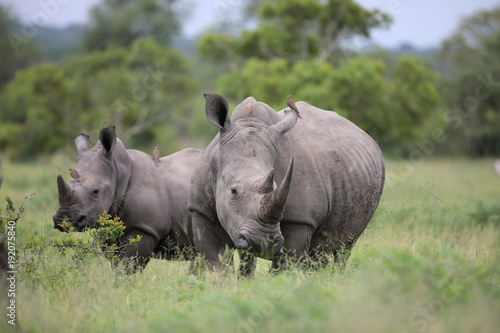 Portrait of free roaming white african rhino