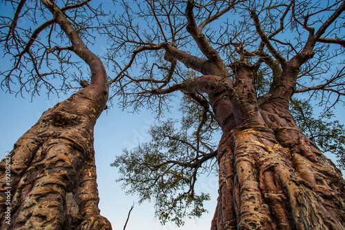 Afrikanischer Affenbrotbaum Baobab