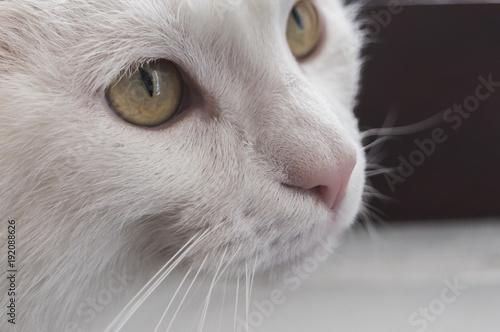 Sguardo Di Un Gatto Bianco Occhi Gialli Buy This Stock Photo And