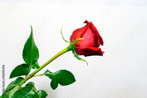 Fotografie, Obraz  A long stem red rose with leaves