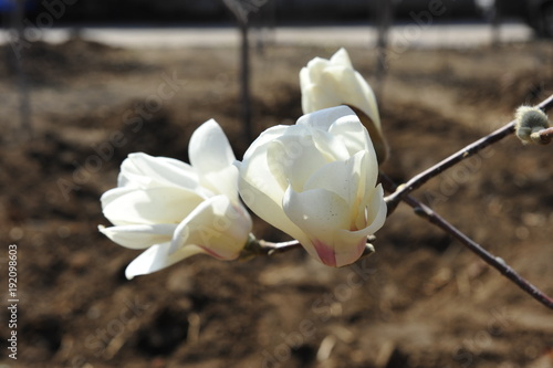 Photo  Magnolia flower blooming